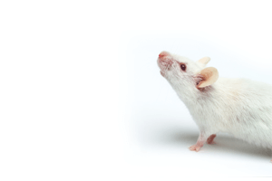 research mouse