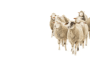 flock of sheep for research