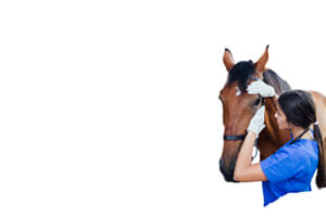 female nurse stroking horse nose for comfort
